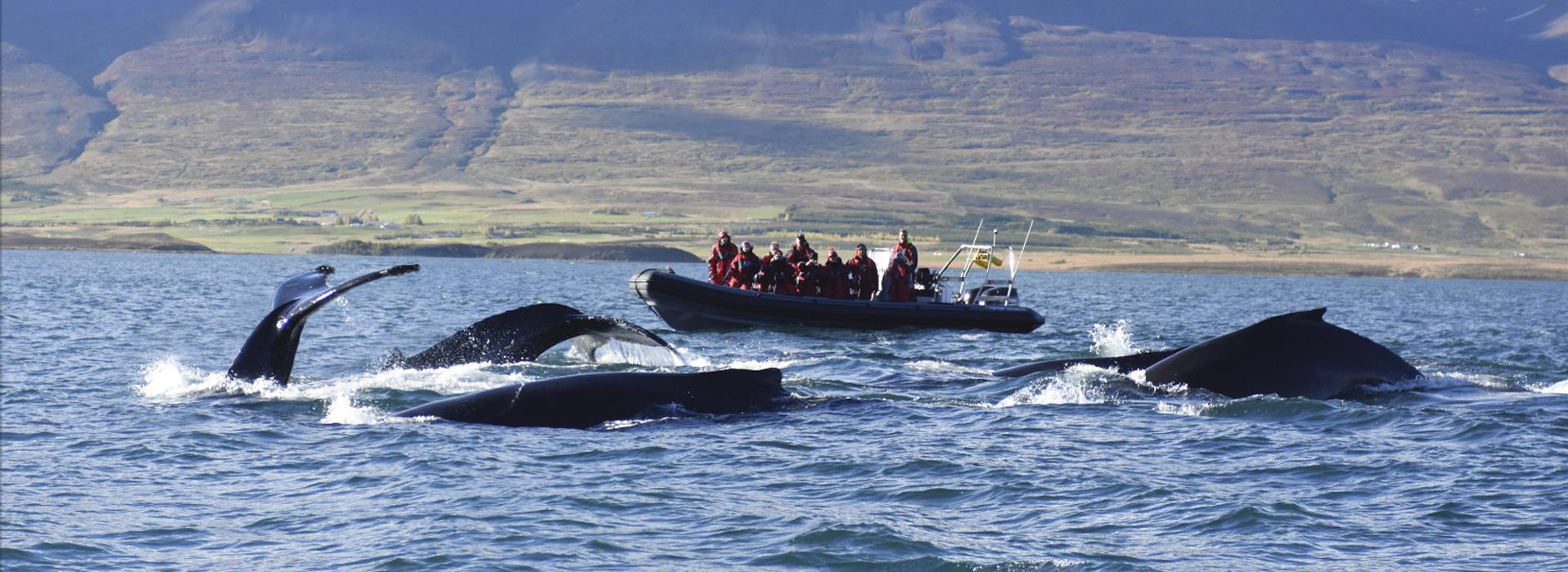 Whale watching, Reykjavik