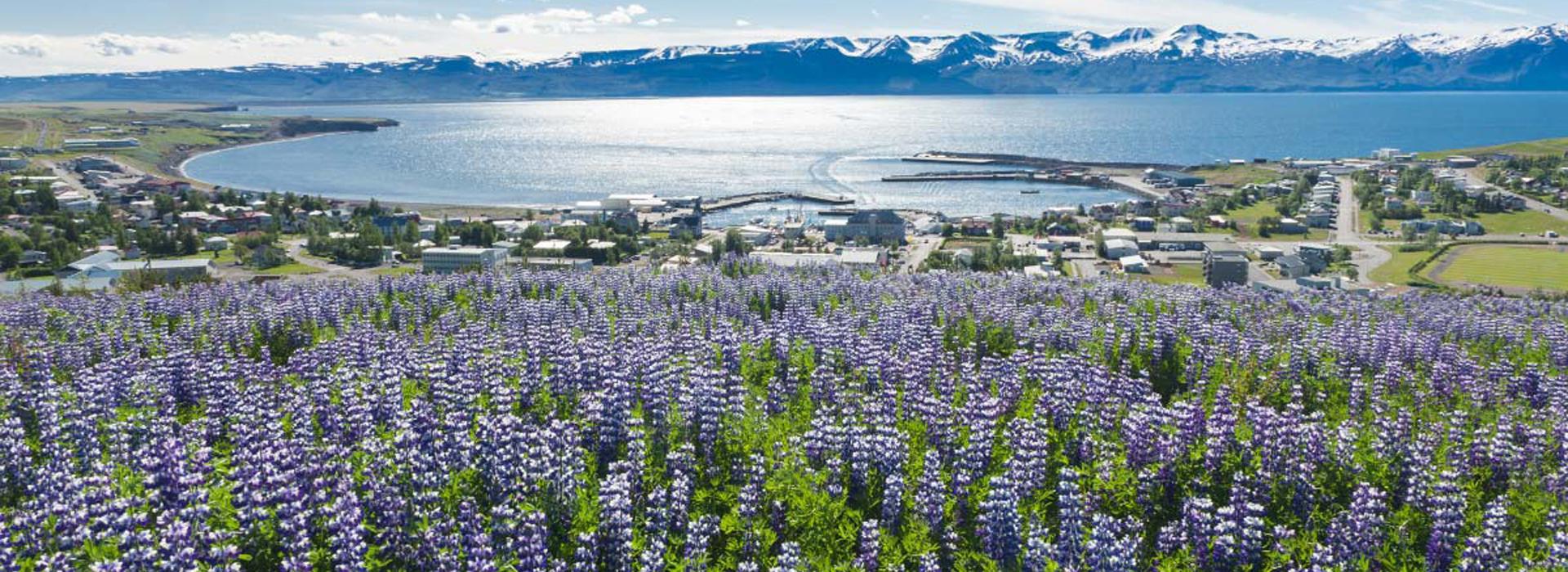 Flyover Husavik from Hill with Lupine Flowers